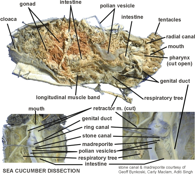 Sea Cucumber Dissection Diagram Free Car Wiring Diagrams